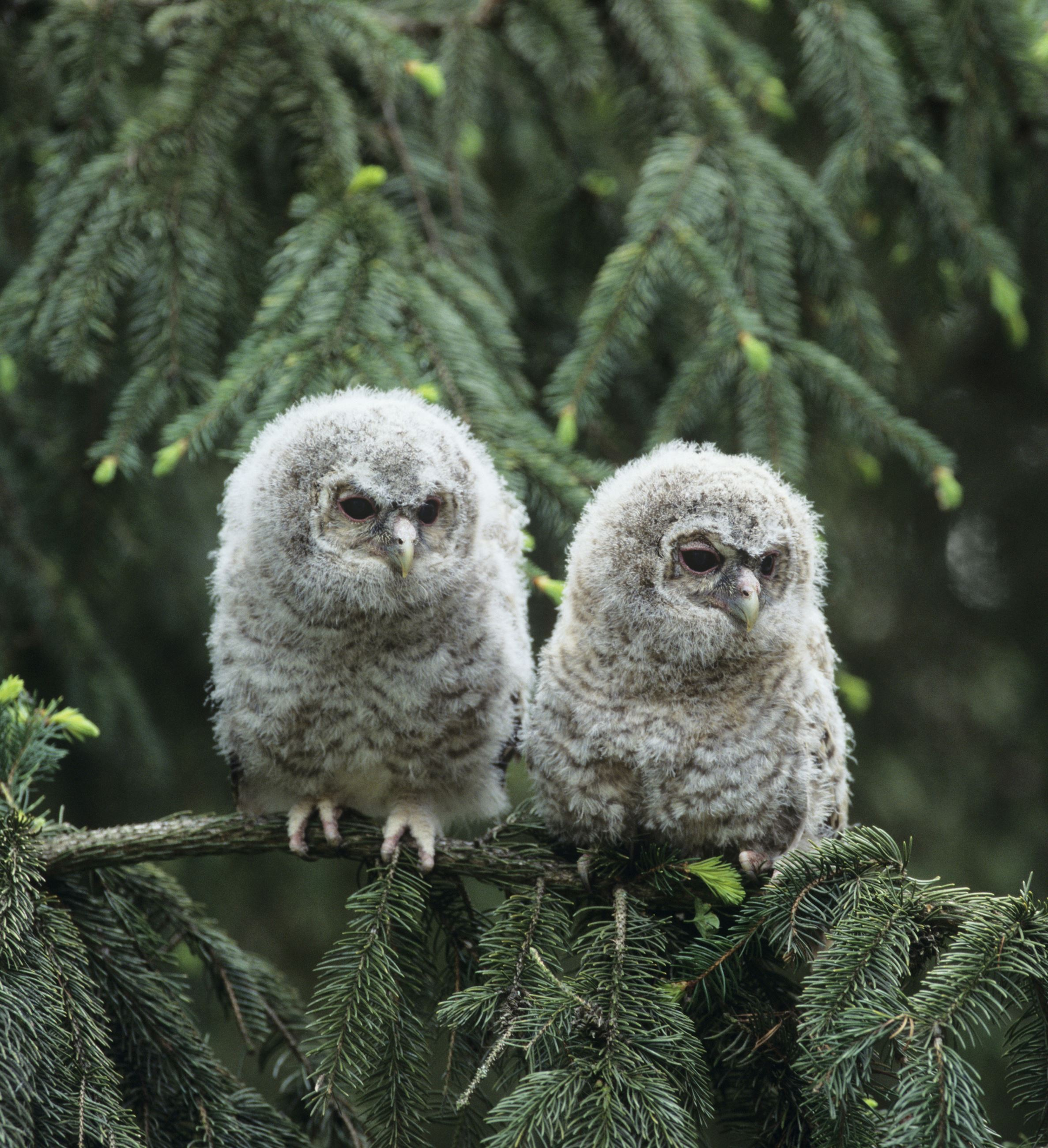 owlets on evergreen branch